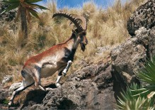 Walia ibex ser du i Simien mountains