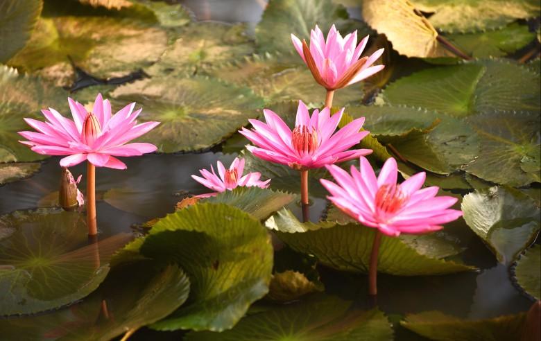Lotusblomman är vanligt förekommande i Kerala