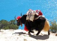 Our heavily decorated leading yak