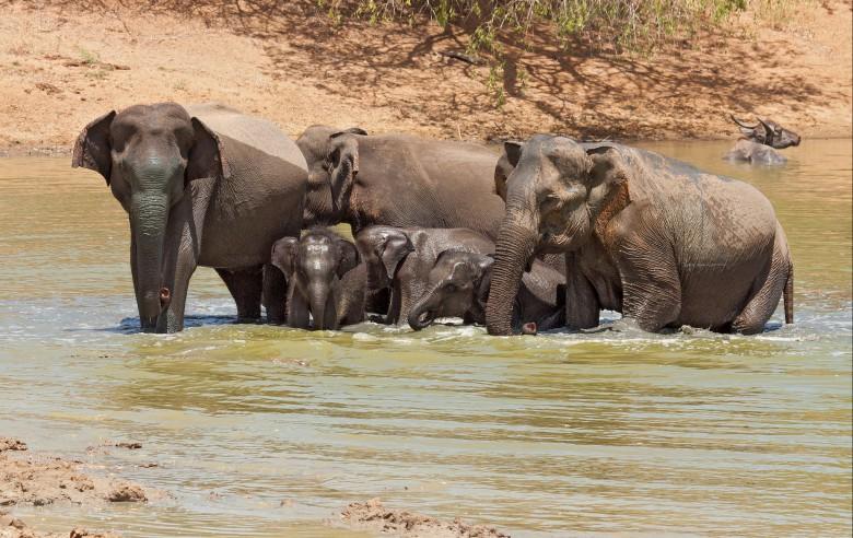 Vilda elefanter i Wilpathu nationalpark