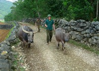 Buffalo owner in Bac Ninh